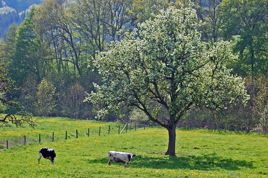 Kühe Wiersdorf mit Baum