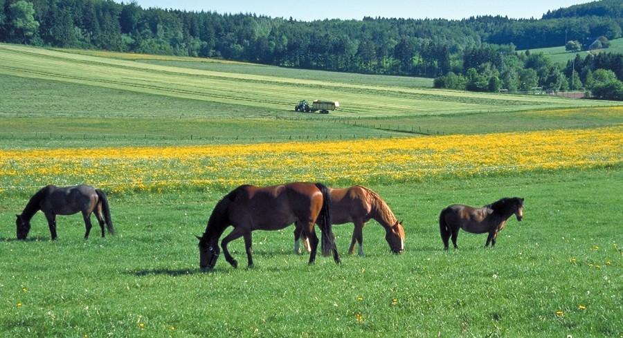 Pferde auf Weide