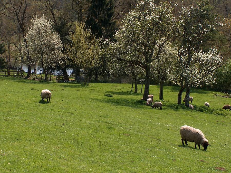 Schafe im Kylltal
