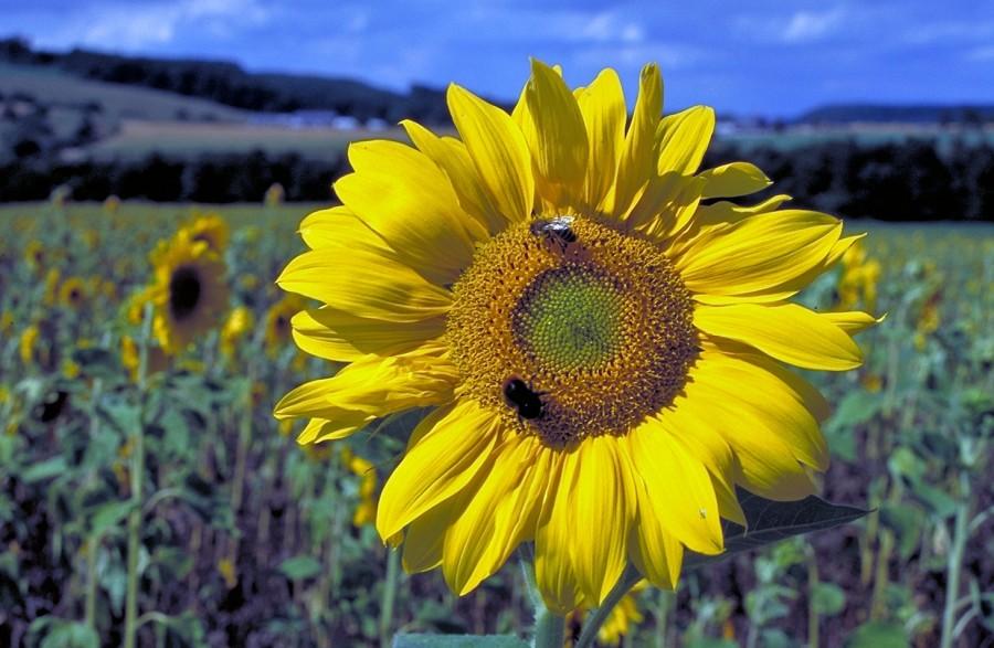 Sonnenblumenfeld bei Röhl